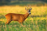 Roe deer buck observing on agricultural field in summer nature