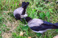 Two Young Hooded Crows Exploring