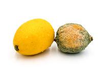 Citrons pourris et frais isolés