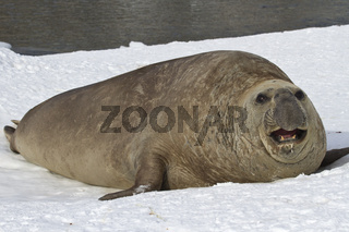 adult male sea elephant seal resting on the shores of the Antarctic