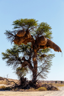 African masked weaver big nest on tree
