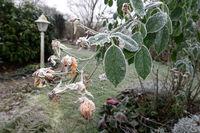 Rauhreif auf den verblühten Blüten einer Strauchrose