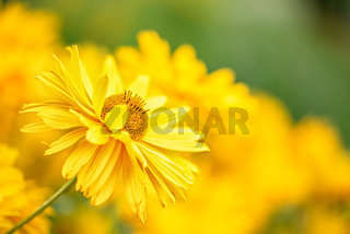Field of yellow chrysanthemum with flowers head on front view