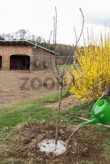 Gärtner pflanzt jungen Obstbaum - Nahaufnahme