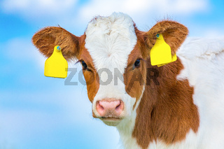 Portrait head of newborn calf with  sky