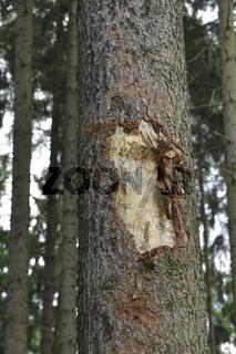 Mit einem Harvester zerstörte Baum