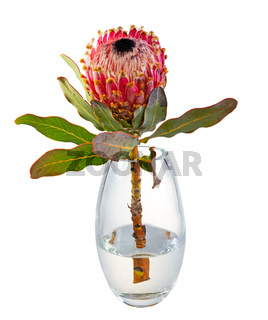 Isolated king protea flower in a glass vase