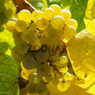 Weintraube weiss - grape white 19