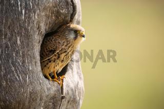 Common kestrel sitting in nest in springtime nature