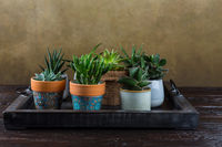 Green house plants potted on the wooden table. Succulents indoor. Concept of home garden.