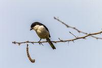 jackie-hangman bird branch