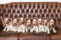 family of English Cocker Spaniel with small puppy
