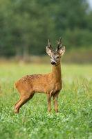 Vital roe deer male standing on field during the summer.