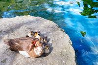 Ducks family pond lake Crimea