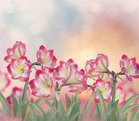 Amaryllis flowers in the garden.