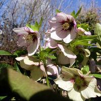 Schneerose, Christrose oder Schwarze Nieswurz (Helleborus niger) - blühende Pflanze