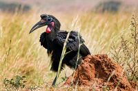 Nördlicher Hornrabe im Murchison Falls Nationalpark Uganda (Bucorvus abyssinicus) | northern ground hornbill, Murchison Falls National Park Uganda (Bucorvus abyssinicus)