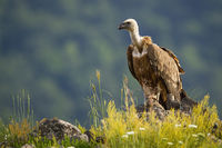 Solitary griffon vulture sitting on a rocky mountain peak in summer nature.