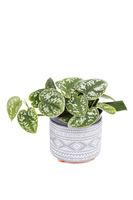 Epipremnum pictum Argyraeus or Satin Pothos