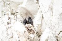 zwei Kormoran Junge im Nest in einer Felswand