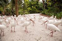 Flock of American white Ibis Eudocimus albus birds