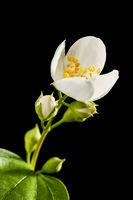 Blossom of philadelphus coronarius apperture 16