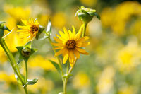 Blooming yellow flowers of sunflower aster family on meadow