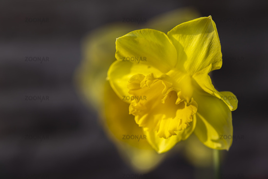 Gelbe Narzisse, wild daffodil