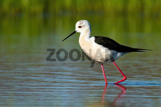 Tall black-winged stilt marching in waters of wetland in spring nature at sunrise.