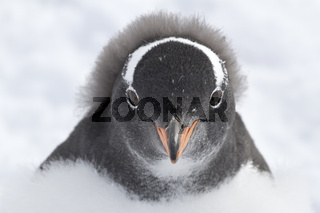 Gentoo penguin chick portrait which is almost completely molted