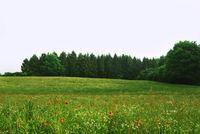 Beautiful landscape with poppy field. Summer poppy flowers