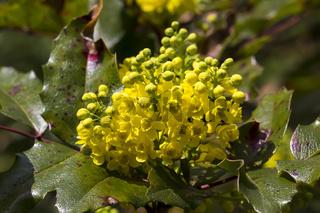 Mahonia aquifolium, Gewöhnliche Mahonie