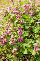 Blooming Dead nettle - Lamium purpureum in its natural environment.