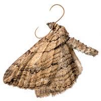 Toter Nachtfalter liegt mit ausgebreiteten Flügeln auf der Seite vor weißem Hintergrund
