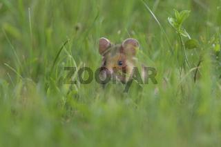 Common Hamster