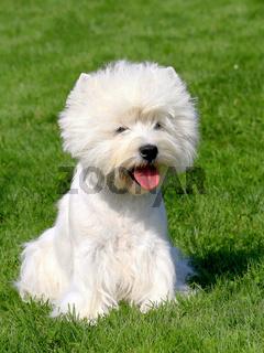 Puppy of West Highland White Terrier