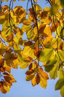 Bunte Buchenblätter im Herbst
