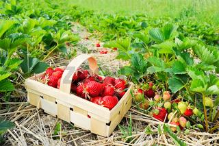 Frische Erdbeeren im Korb am Feld