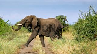 Elefanten im Queen Elizabeth Nationalpark, Uganda (Loxodonta africana) | Elephants at Queen Elizabeth National Park, Uganda (Loxodonta africana)
