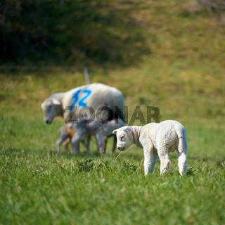 Junges neugeborenes Lamm auf einer Wiese