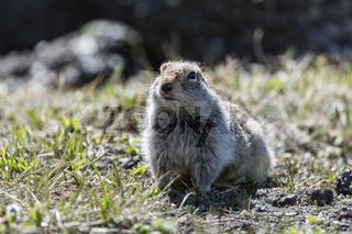 Cute ground squirrel