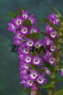 Orchidee, Dendrobium amabile,