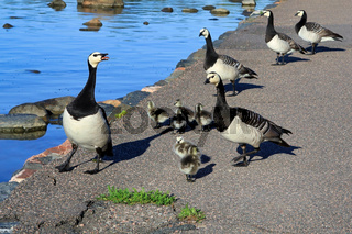 Adult Geese Leading Goslings to Sea