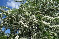 Crataegus monogyna, Eingriffliger Weissdorn, Common Hawthorn