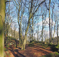 forest trees on a sunlit winter day with fallen leaves and scattered rocks on the ground