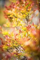 Rote Blätter eines Busches im weichen Gegenlicht