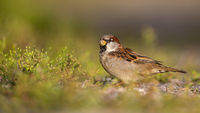 Small house sparrow male sitting on a gravel road and feeding on grass