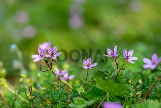 Makroaufnahme vom gewöhnlichen Reiherschnabel in voller Blüte
