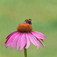 Nahaufnahme einer Hummel auf der Blüte eines roten Sonnenhuts