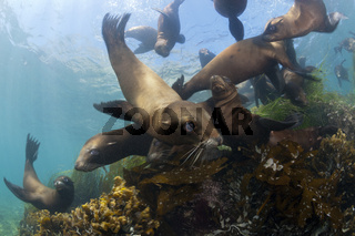Kalifornische Seeloewen, Cedros Island